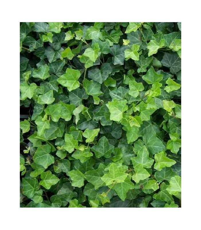 Poison ivy plant medicinal plants - poison ivy