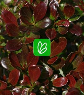 Berberis x media 'Red Jewel' Барбарис середній