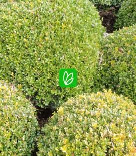 Buxus sempervirens Самшит вічнозелений