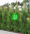 Thuja occidentalis 'Aureospicata' Туя западная
