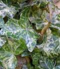 Hedera helix marmorata Плющ обыкновенный мраморный