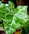 Hedera helix marmorata Плющ звичайний мармуровий