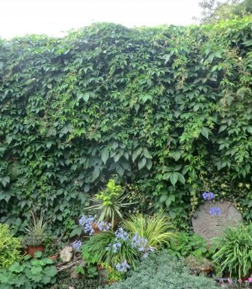 Parthenocissus quinquefolia Дівочий виноград п'ятилисточковий