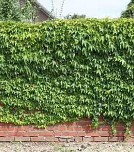 Parthenocissus tricuspidata 'Veitchii' Девичий виноград триостренный