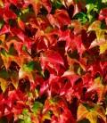 Parthenocissus tricuspidata 'Veitchii' Дівочий виноград