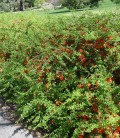 Chaenomeles japonica 'Cido' Айва японська