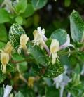 Lonicera japonica 'Aureoreticulata' Жимолость японська