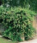 Lonicera japonica 'Halliana' Жимолость японська