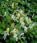 Lonicera japonica 'Halliana' Жимолость японская