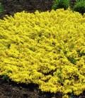 Cytisus decumbens Рокитник сланкий