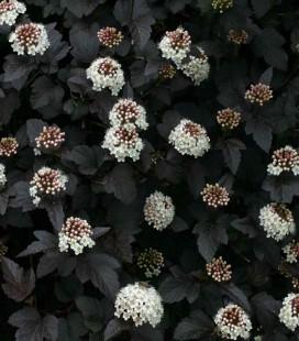 Physocarpus opulifolius 'Diabolo' Пузиреплодник калинолистий