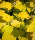 Physocarpus opulifolius 'Luteus' Пузиреплодник калинолистий