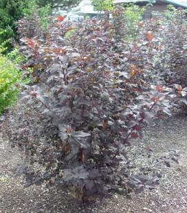 Physocarpus opulifolius 'Atropurpurea' Пузыреплодник калинолистный