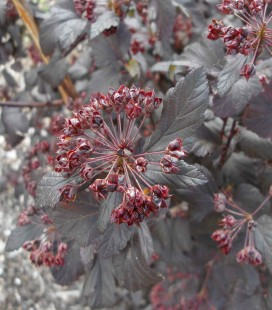 Physocarpus opulifolius 'Atropurpurea', Пухироплідник калинолистий 'Атропурпуреа'