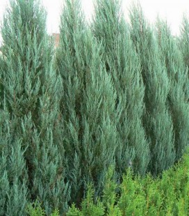 Juniperus scopulorum 'Blue Arrow' Ялівець скельний