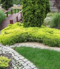 Juniperus horizontalis 'Lime Glow' Ялівець горизонтальний