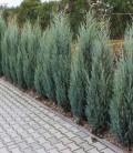Juniperus scopulorum 'Moonglow' Можжевельник скальный