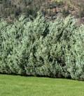 Juniperus scopulorum 'Moonglow' Ялівець скельний