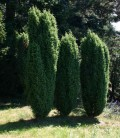 Juniperus communis 'Hibernica' Ялівець звичайний