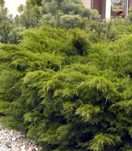 Juniperus x pfitzeriana 'Mint Julep' Ялівець Пфіцера