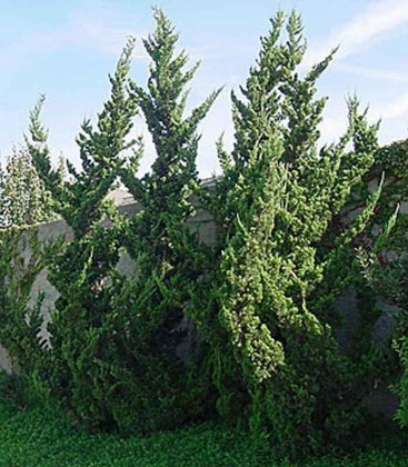 Juniperus chinensis mix Ялівець китайський