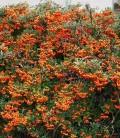 Pyracantha coccinea 'Orange Glow' Пираканта ярко-красная