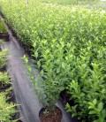Ligustrum vulgare Бирючина звичайна