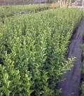Ligustrum vulgare Бирючина обыкновенная