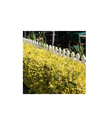 Ligustrum ovalifolium 'Aureum' Бирючина овальнолиста