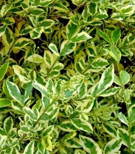 Ligustrum ovalifolium 'Argenteum' Бирючина овальнолиста