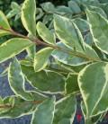 Ligustrum ovalifolium 'Argenteum' Бирючина овальнолистная