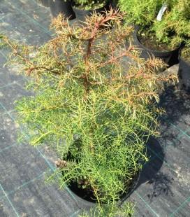 Cryptomeria japonica Криптомерія японська