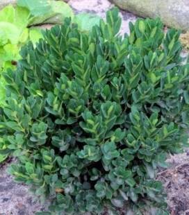 Buxus sempervirens 'Angustifolia' Самшит вічнозелений