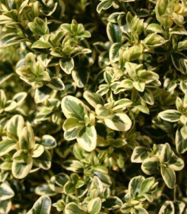Buxus sempervirens 'Argenteomarginata' Самшит вечнозеленый