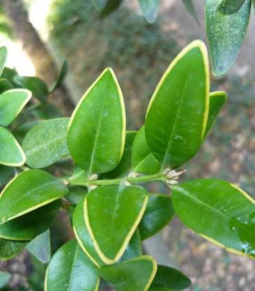 Buxus sempervirens 'Marginata' Самшит вічнозелений