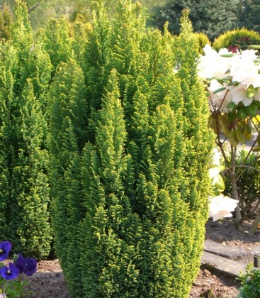 Chamaecyparis lawsoniana 'Ellwood's Gold' Кипарисовик Лавсона