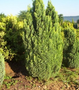 Chamaecyparis lawsoniana 'Ellwood's Gold' Кипарисовик Лавсона