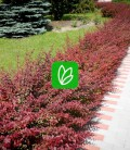 Berberis thunbergii 'Red Carpet' Барбарис Тунберга