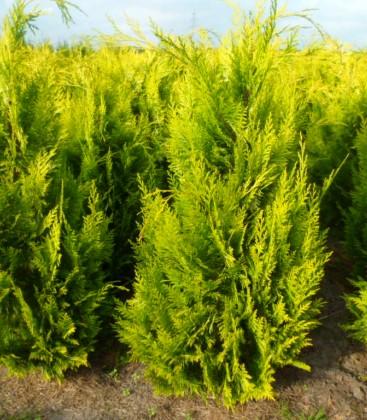 Chamaecyparis lawsoniana 'Ivonne' Кипарисовик Лавсона