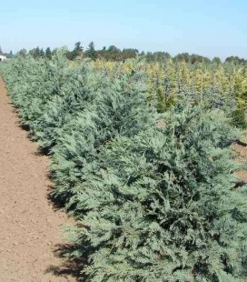 Chamaecyparis lawsoniana 'Pembury Blue', Кипарисовик Лавсона 'Пембері Блу'