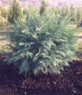 Chamaecyparis lawsoniana 'Silver Globus' Кипарисовик Лавсона