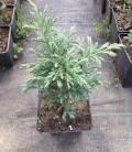 Chamaecyparis pisifera 'Boulevard' Кипарисовик горохоплідний