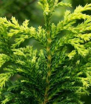 Chamaecyparis pisifera 'Plumosa Aurea' Кипарисовик горохоплідний