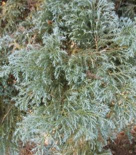 Chamaecyparis pisifera 'Squarrosa' Кипарисовик горохоплідний