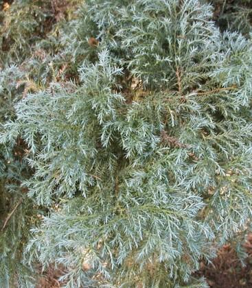 Chamaecyparis pisifera 'Squarrosa' Кипарисовик горохоплодный