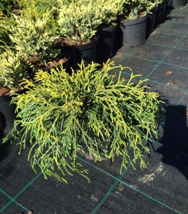 Chamaecyparis pisifera 'Sungold' Кипарисовик горохоплідний