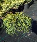 Chamaecyparis pisifera 'Sungold' Кипарисовик горохоплодный