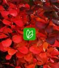 Berberis thunbergii 'Red Pillar' Барбарис Тунберга
