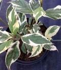 Cornus alba 'Sibirica Variegata' Дерен білий