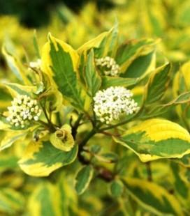 Cornus alba 'Spaethii', Дерен білий 'Спаетті'